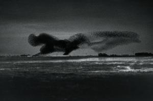 Kirsten Klein - Landung der Stare zur Nachtruhe / Tøndermarsch